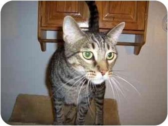 Bengal Cat for adoption in Hesperia, California - Jerry