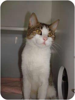 Domestic Shorthair Cat for adoption in Lake Charles, Louisiana - Niki