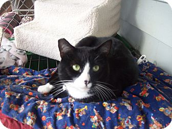 Domestic Shorthair Cat for adoption in Kelso/Longview, Washington - Darby