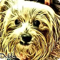 Adopt A Pet :: Dobby-PA - Emmaus, PA