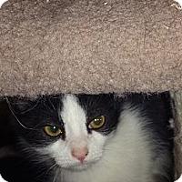 Adopt A Pet :: Diamond - Escondido, CA