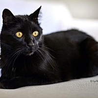 Domestic Shorthair Cat for adoption in Eagan, Minnesota - Jet