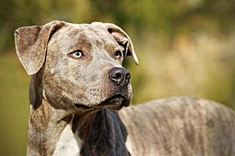 Plott Hound/American Bulldog Mix Dog for adoption in Whites Creek, Tennessee - Clive