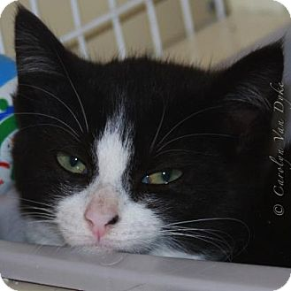 Domestic Shorthair Cat for adoption in Elizabeth City, North Carolina - Baller