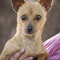 Chihuahua Mix Dog for adoption in El Cajon, California - Mikki