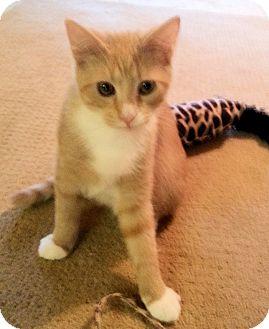 Domestic Shorthair Kitten for adoption in Morganton, North Carolina - Cassidy