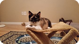 Domestic Shorthair Kitten for adoption in Turnersville, New Jersey - Elly Mae