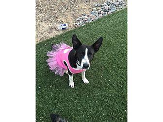 Border Collie Mix Dog for adoption in Tempe, Arizona - Dakota