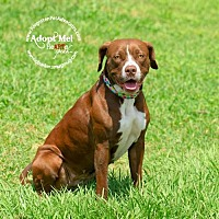 Boxer/Labrador Retriever Mix Dog for adoption in Pearland, Texas - Starr