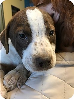 Pointer Mix Puppy for adoption in Spring, Texas - Daisy