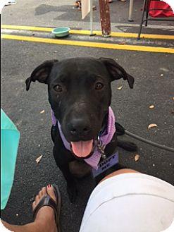 Labrador Retriever Mix Dog for adoption in Fort Lauderdale, Florida - OLIVER BRADY