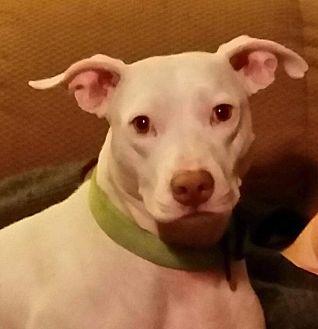 Pit Bull Terrier/Labrador Retriever Mix Dog for adoption in Dayton, Ohio - Hokey