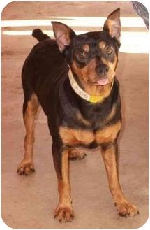 Miniature Pinscher Dog for adoption in Phoenix, Arizona - Preston