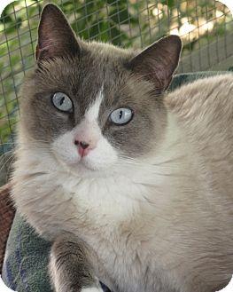 Snowshoe Cat for adoption in lake elsinore, California - CUPID