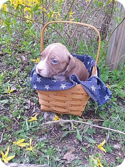 American Pit Bull Terrier Mix Puppy for adoption in Roaring Spring, Pennsylvania - Male # 2