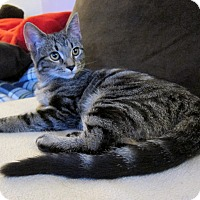 Adopt A Pet :: Clay - Brooklyn, NY