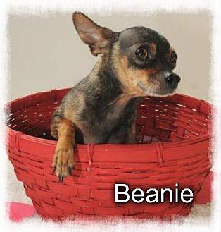 Chihuahua Dog for adoption in Crandall, Georgia - Beanie