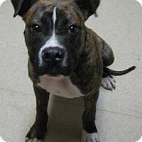 Adopt A Pet :: Clay - Gary, IN