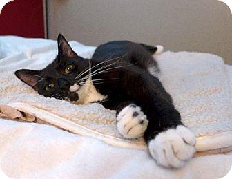 Domestic Shorthair Cat for adoption in Long Beach, California - ZigZag