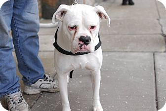 Boxer Mix Dog for adoption in Detroit, Michigan - Casper-Adopted!