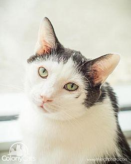 Domestic Shorthair Cat for adoption in Columbus, Ohio - Skittles