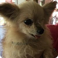 Chihuahua Mix Dog for adoption in Blanchard, Oklahoma - Babbs