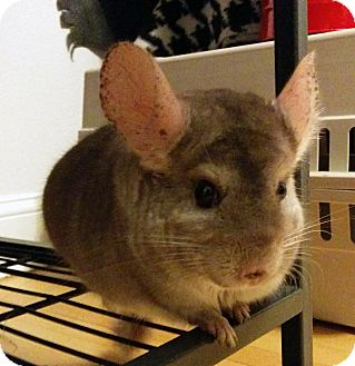 Chinchilla for adoption in St. Paul, Minnesota - Chowder