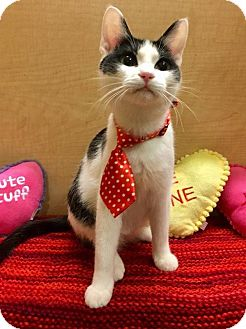 Domestic Shorthair Kitten for adoption in Mebane, North Carolina - Bubbles