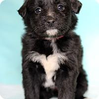 Adopt A Pet :: Orino - Waldorf, MD