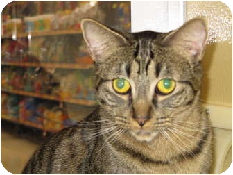 Domestic Shorthair Cat for adoption in Modesto, California - Chase