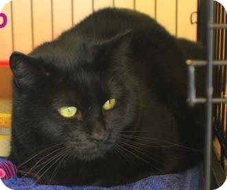 Domestic Shorthair Cat for adoption in Merrifield, Virginia - Dio