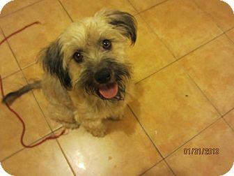 Schnauzer (Miniature)/Terrier (Unknown Type, Medium) Mix Dog for adoption in San Diego, California - Mami