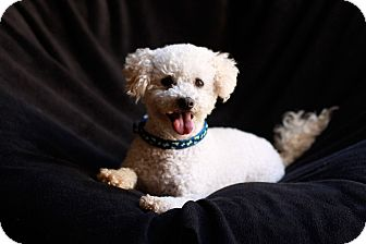 Poodle (Miniature) Dog for adoption in El Cajon, California - TOBY, see my video!