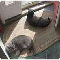 Domestic Shorthair Cat for adoption in New York, New York - Puah