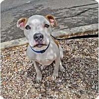Adopt A Pet :: Captain Jack - Mesa, AZ