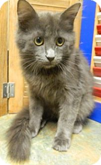 Domestic Mediumhair Cat for adoption in Columbus, Nebraska - Reign