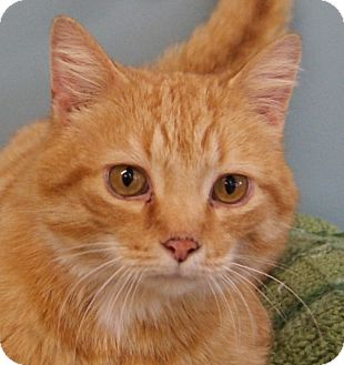 Domestic Shorthair Cat for adoption in Dundee, Michigan - Levi - Adoption Pending