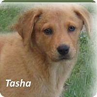 Adopt A Pet :: Tasha - Marlborough, MA