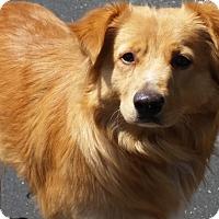 Golden Retriever/Border Collie Mix Dog for adoption in Santa Barbara, California - Cecil