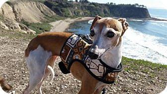 Italian Greyhound Dog for adoption in Costa Mesa, California - Dusty