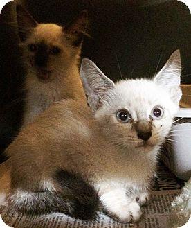 Siamese Kitten for adoption in Metairie, Louisiana - Sushi