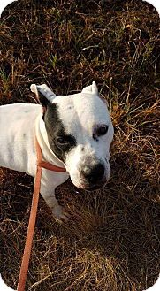 American Staffordshire Terrier Mix Dog for adoption in Allentown, New Jersey - Lilly