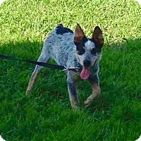 Adopt A Pet :: PJ (Paul James)-Pending - Lancaster, PA
