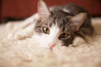 Domestic Shorthair Cat for adoption in Los Angeles, California - Moose (bonded to Rockstar)