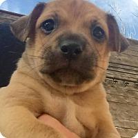 Adopt A Pet :: Poppy - Wichita Falls, TX