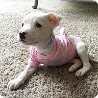 Adopt A Pet :: Maggie VIII - Dallas, TX