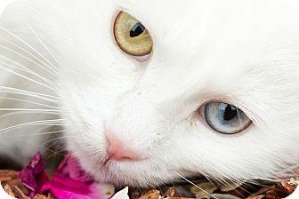 Domestic Longhair Cat for adoption in San Antonio, Texas - Lenora