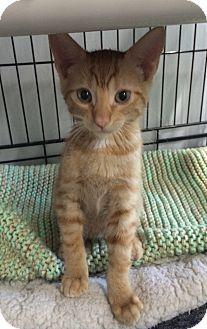 Domestic Shorthair Cat for adoption in Bonner Springs, Kansas - Ed
