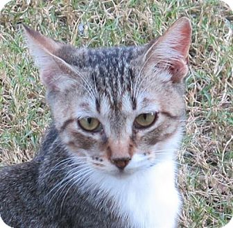Domestic Shorthair Cat for adoption in Gonzales, Texas - Hobie