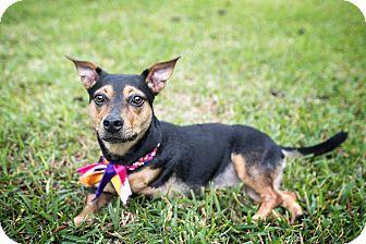 Corgi Mix Dog for adoption in Washington, D.C. - Millie